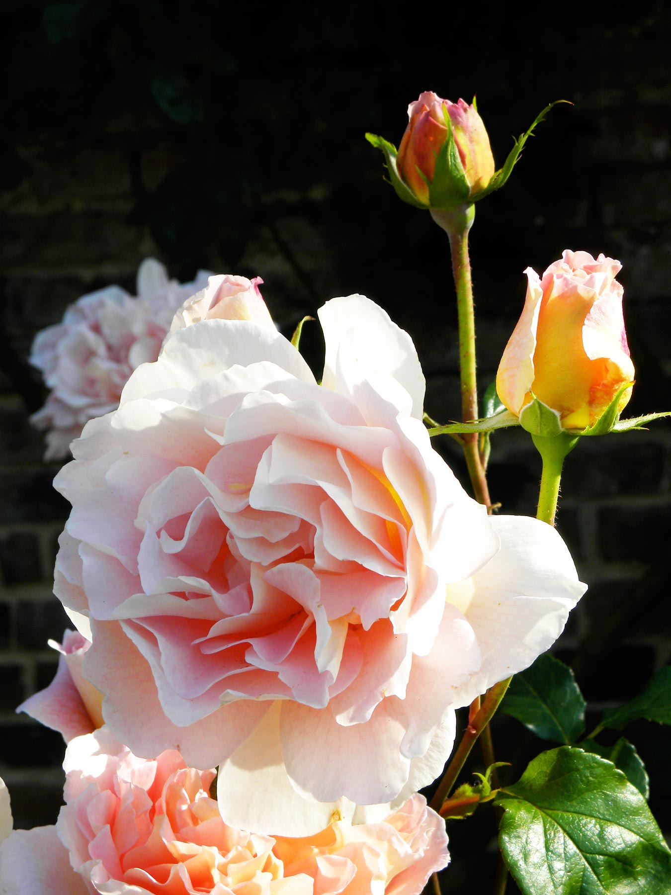 Rose Abraham Darby