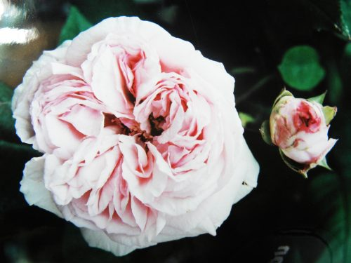 Rose Mme Ernest Calvat