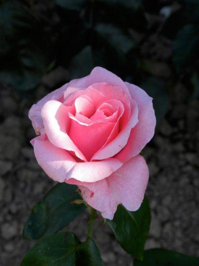 Rose héritage