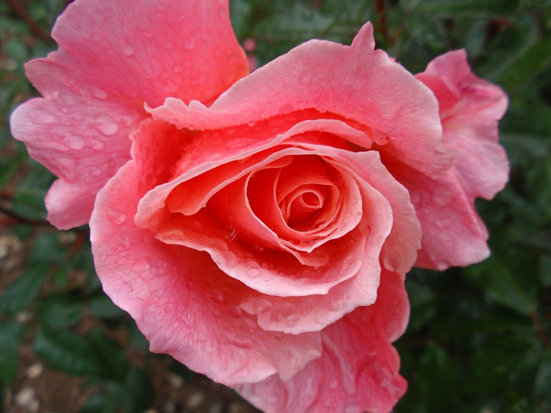 Rose HT